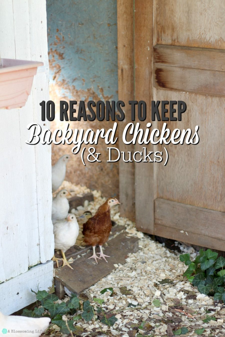 10 Reasons To Keep Backyard Chickens & Ducks