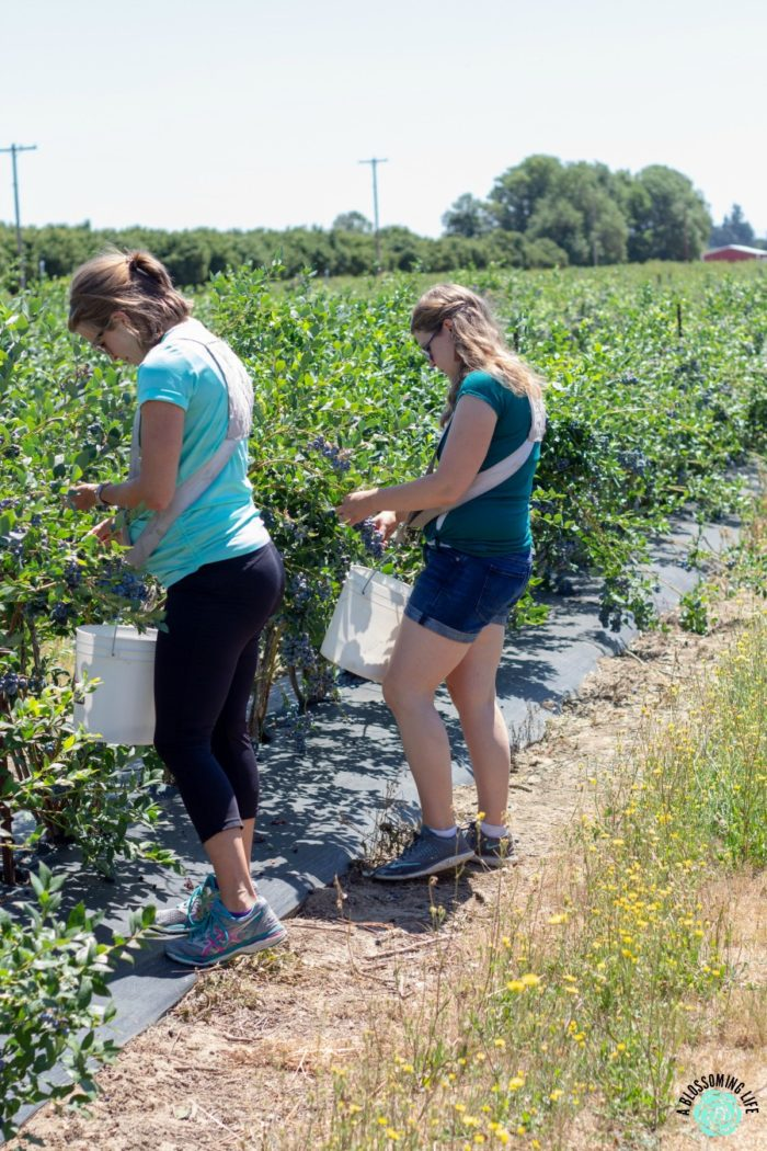two women blueberry picking