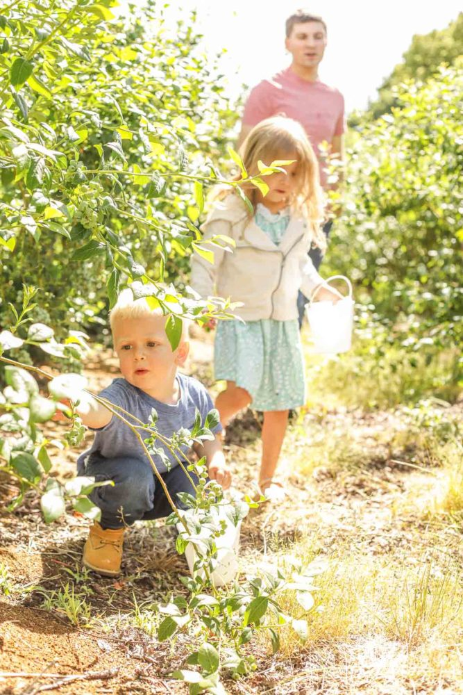 a boy, girl and their dad walking through blueberry farm